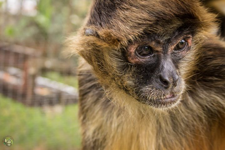 A spider monkey at Toucan Rescue Ranch.