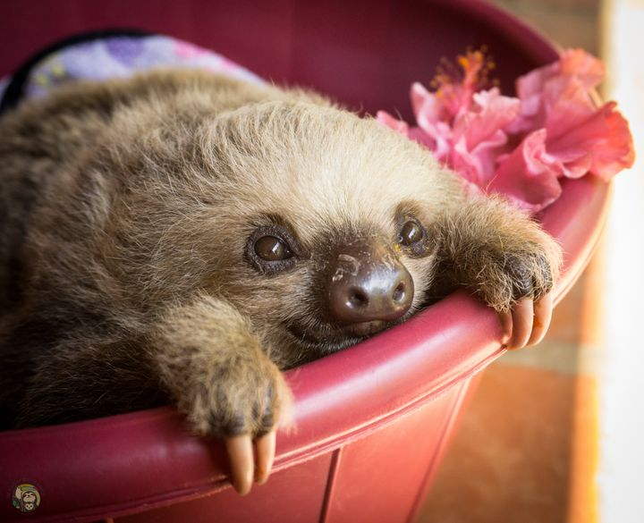 A baby two-fingered sloth rests in a bucket at Toucan Rescue Ranch's sloth nursery.