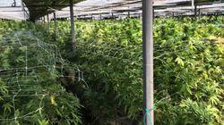 Légaliser le cannabis récréatif: la proposition choc d'économistes proches de
