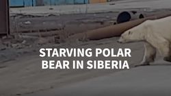 Starving Polar Bear Wanders Into Siberian