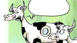 BLOG - Vaches à hublot: On connaît la raison cachée de cette