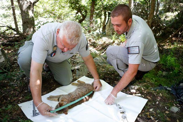 Γαλλία: Αλεπουδόγατα «φάντασμα» εντοπίστηκε στην Κορσική - Εκπληκτοι οι