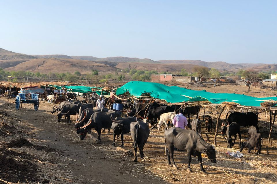 A fodder camp in Beed district of