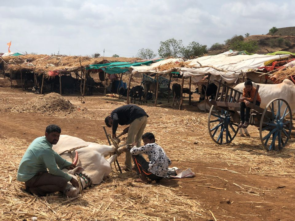 Inside a fodder camp in Beed district of