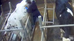Les vaches à hublot, une pratique