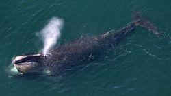 Alzate il volume: questo è il canto della rarissima balena del Nord Pacifico, mai registrato