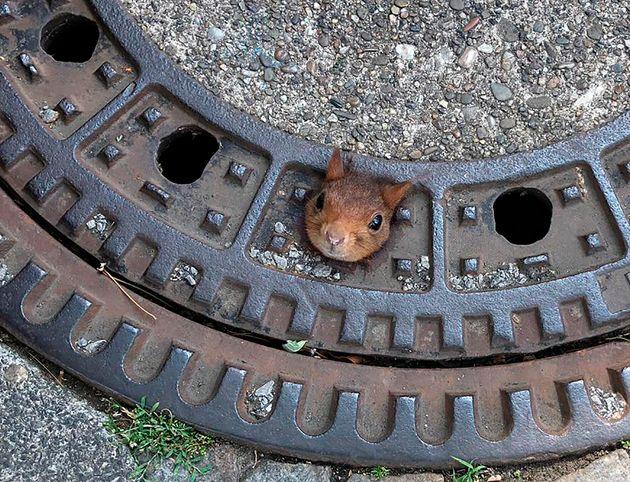 Uno scoiattolo rimane incastrato in un tombino: i soccorritori riescono a