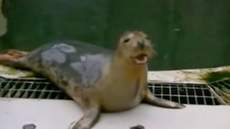 """University of St. Andrews researchers teach seal to sing """"Twinkle Twinkle Little Star."""""""