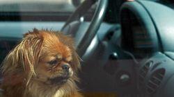 A-t-on le droit de briser la vitre d'une voiture pour sauver un animal de la