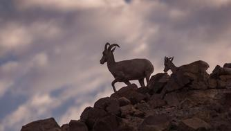 ESSEX, CA - AUGUST 28: A desert bighorn ewe and her lamb walk a ridge in the early morning in the Trilobite Wilderness region of Mojave Trails National Monument on August 28, 2017 near Essex, California. The 1.6 million-acre Mojave Trails National Monument was designated by President Barack Obama in February 2016 and is one of six National Monuments in California, out of a total of 27, that the Donald Trump administration is considering for reduction or elimination. Mojave Trails is the result of the donations of more than 200,000 private acres to the federal government for conservation in perpetuity, the largest such land gift in U.S. history, and includes more than 350,000 acres of previously congressionally-designated Wilderness. It includes desert mountains, sand dunes, volcanoes and lava flows, as well as the longest remaining undeveloped stretch of Route 66, Native American trade routes and World War II-era training camps. It stretches about 95 miles and runs 50 miles from north to south near its midpoint.  (Photo by David McNew/Getty Images)