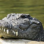 Gujarat Villagers Perform 'Aarti' For Crocodile That Entered Temple, Delay