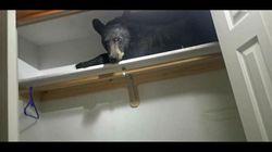 L'orso è stanco e trova rifugio nell'armadio di una