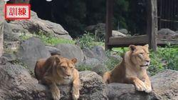 Ιαπωνία: Αλλόκοτη άσκηση ασφάλειας σε ζωολογικό κήπο άφησε άναυδα τα