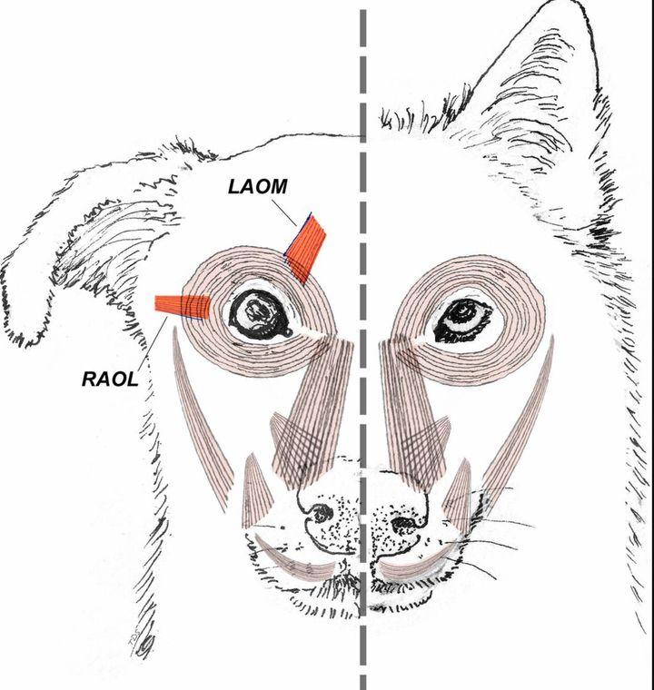 Comparação da anatomia facial entre cachorro e lobo.