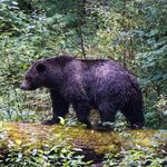 A Second Grizzly Bear Is Dead After Being Hit By A