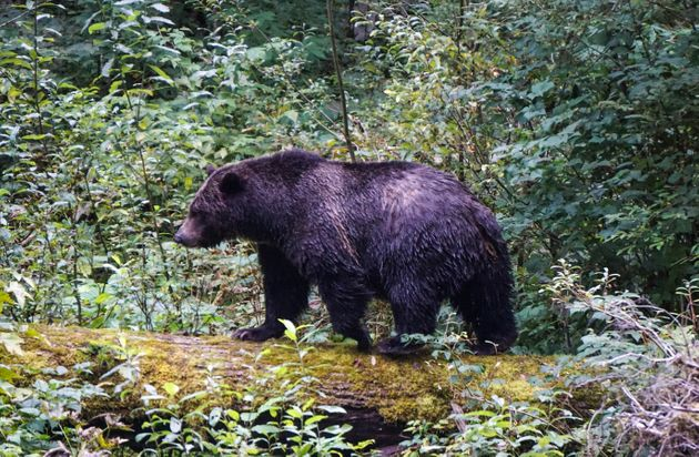 A grizzly bear looking for food in British