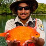 生きた金魚をトイレに流さないで……。巨大金魚の写真が訴える、トイレから先で起こること