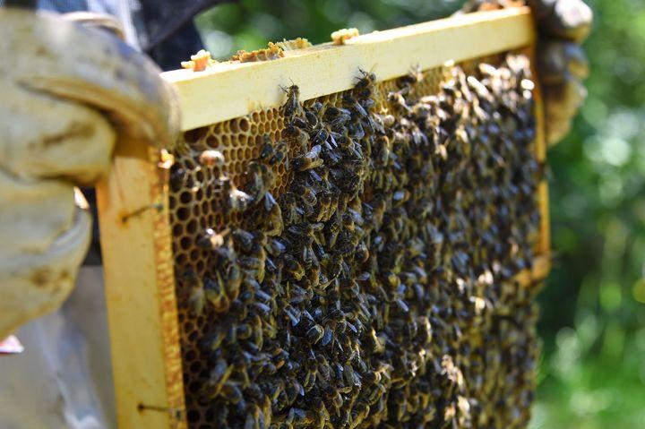 La récolte de miel ne va pas être du niveau des saisons précédentes.