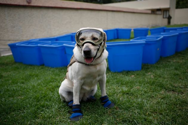 Frida, one of three Marine dogs specially trained to search for people trapped inside collapsed buildings,...