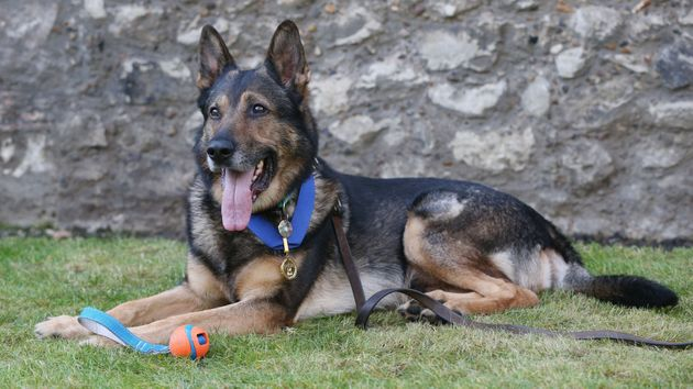 Police dog Finn was stabbed in the head and chest in