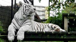 Le zoo de Maubeuge euthanasie son dernier tigre