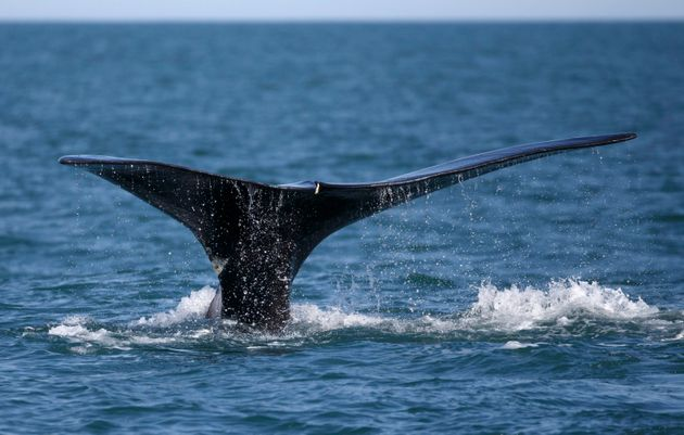A North Atlantic right whales breaches the surface of Cape Cod bay near Plymouth, Mass., on March 28,