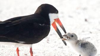 seabird-feeds-chick-cigarette