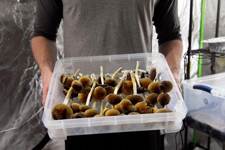 Harvested psilocybin mushrooms in Denver, Colorado.