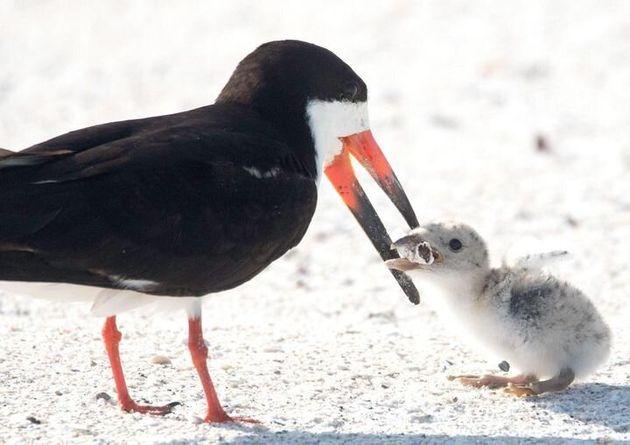 メーソンさんが撮影した写真。クロハサミアジサシの親鳥が、ヒナにタバコの吸い殻を与えている
