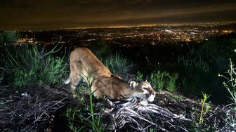Mountain Lions endangered species