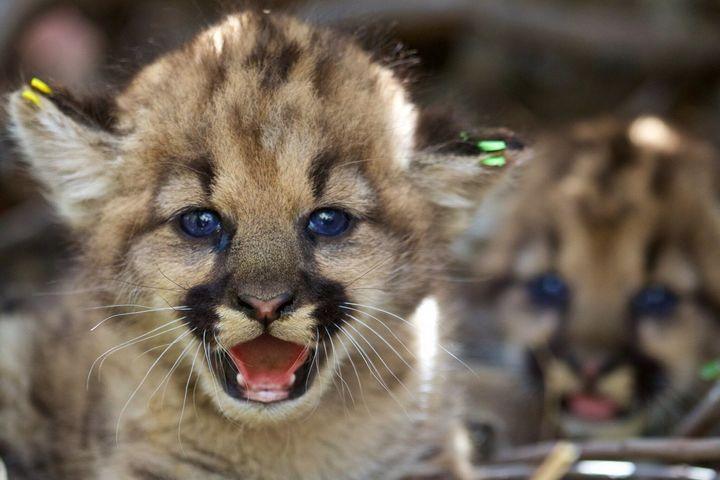 California mountain lion kittens.