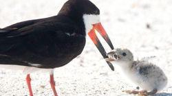Cette photo d'un oiseau de mer nourrissant son petit n'a rien de