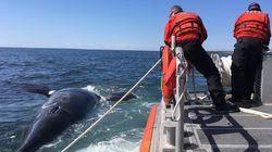 Une sixième baleine noire morte dans les eaux