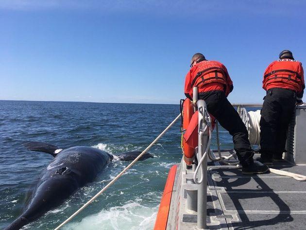 De nombreuses baleines noires avaient également été retrouvées mortes dans...