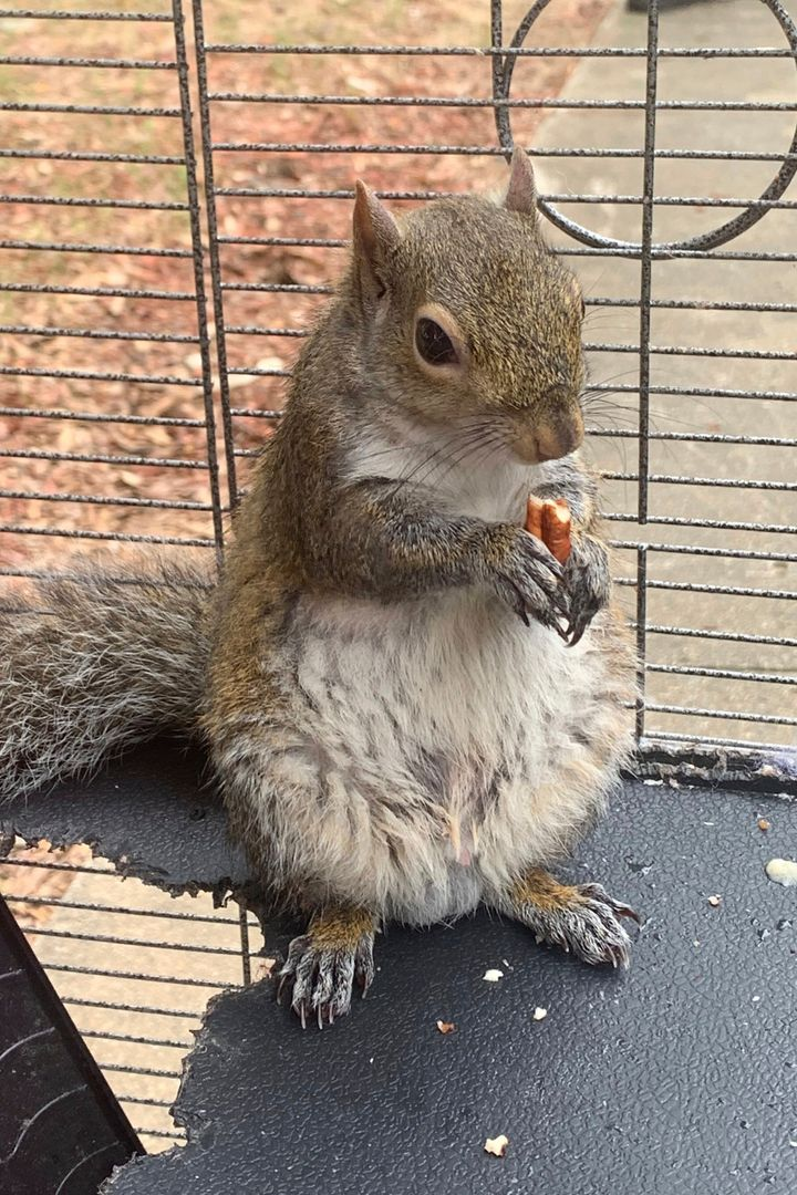 """Deeznuts, a squirrel local law enforcement claimed was being fed meth and kept as an """"attack squirrel."""" Mickey Paulk, the man"""