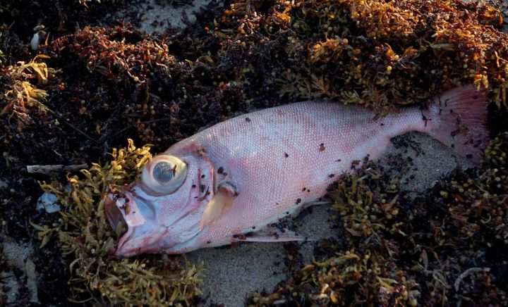 A dead fish is seen in the seaweed at Oceanfront Park in Boynton Beach, Fla., Thursday, Oct. 4, 2018.