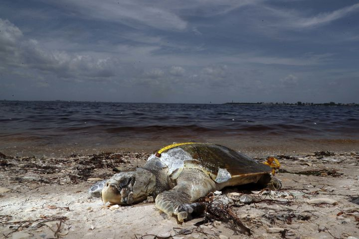 A Kemp's ridley sea turtle, a victim of red tide at  Bunche Beach and the Sanibel Causeway in September 2018.