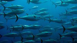 L'Algérie demandera l'augmentation de son quota de pêche de thon à partir de l'année