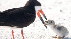 L'uccello nutre il suo piccolo con un mozzicone di sigaretta: lo scatto diventa un