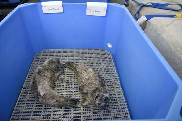 The royal pups relax at the Vancouver Aquarium's Marine Mammal Rescue