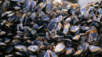 California mussels atop a rock on a beach in Point Reyes National Seashore