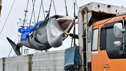 In Giappone al via la caccia alle balene dopo oltre 30 anni.