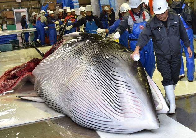 In Giappone al via la caccia alle balene dopo oltre 30