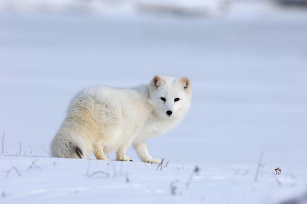 Το ταξίδι μιας αρκτικής αλεπούς που άφησε άφωνους τους