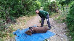 Τραυματισμένη και εγκλωβισμένη σε παγίδα, βρέθηκε η αρκούδα «Ερμής» - Απελευθερώθηκε από τον