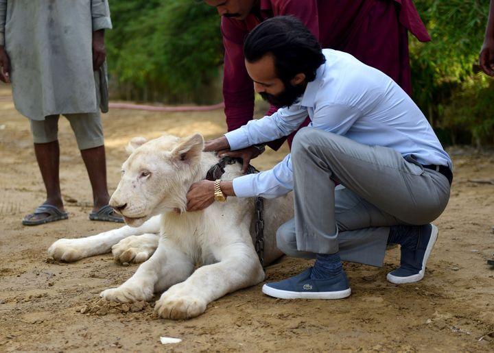 Le lion blanc de Bilal Mansoor Khawaja à l'intérieur de son zoo privé, à Karachi au Pakistan.