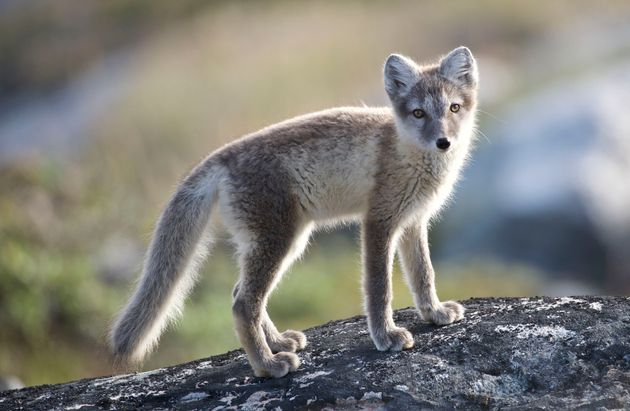 This photo shows an Arctic fox in Greenland, which is not the one that was tracked by scientists in