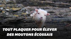 Une île écossaise de 72 habitants cherche un berger pour protéger ses moutons