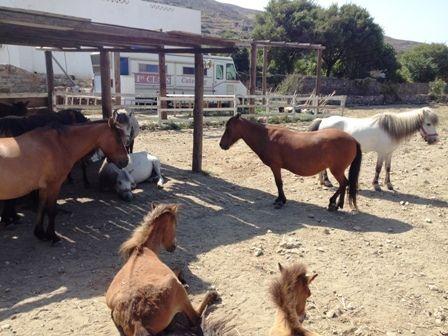 Σκυριανά αλογάκια σε οργανωμένο χώρο στην περιοχή της