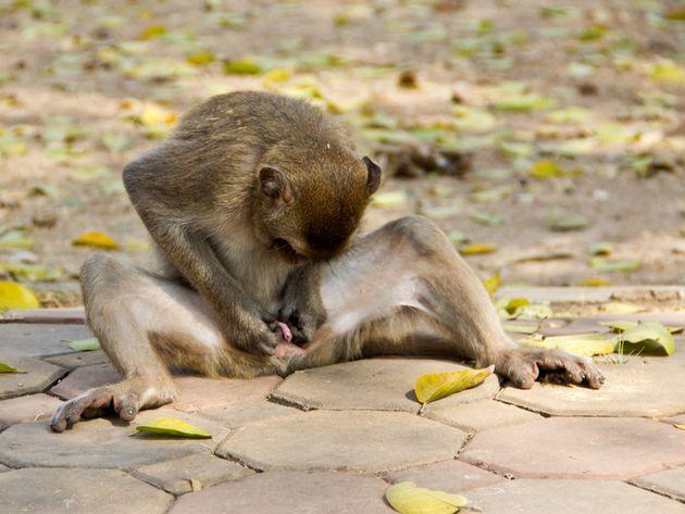 ¿Por qué los hombres somos los primates con el pene más